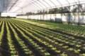 Licata, furto di melanzane in un'azienda agricola