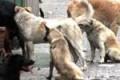 Campobello di Licata, altre  lamentele  sulla presenza di cani randagi in paese