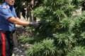 Naro, 46enne coltivava marijuana nel suo fondo: convalidati gli arresti domiciliari