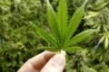 Licata, scoperta piantagione di cannabis tra i meloni: denunciati padre e figlio