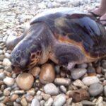 Nido di tartarughe Caretta Caretta a Linosa, schiusa delle uova prevista per fine luglio