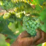 Campobello di Licata, avviso comunale su vidimazione   trasporto uva