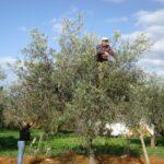 Porto Empedocle, rubate 5 tonnellate di olive da un terreno