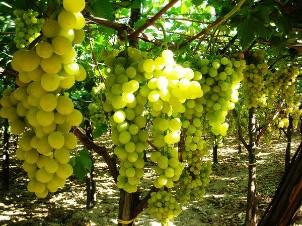 Canicatt settore agricolo il consorzio uva italia igp e - Uva da tavola italia ...