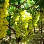 Produttori Uva Italia in crisi, la Regione chiederà lo stato di calamità