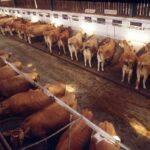 In arrivo i fondi per aiutare il settore zootecnico siciliano,   on line il bando della misura 13 del Psr