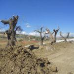 Racalmuto, tagliati 400 alberi di ulivo
