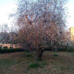 Si rinnova il mito di proserpina. fioritura anticipata per i mandorli del Giardino Botanico del Libero consorzio